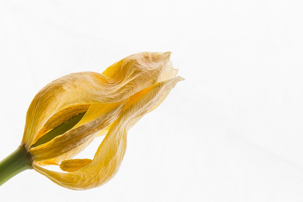High-key Tulip